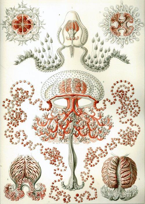 Haeckel_Anthomedusae