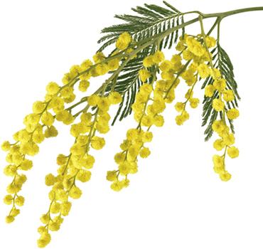 mimosaflower